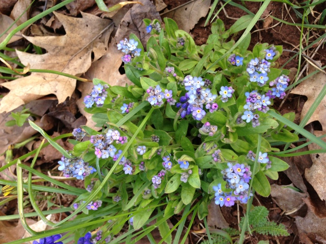 Forget-Me-Nots blooming in the Upper Peninsula of Michigan.